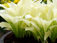Funkia 'White Feather'