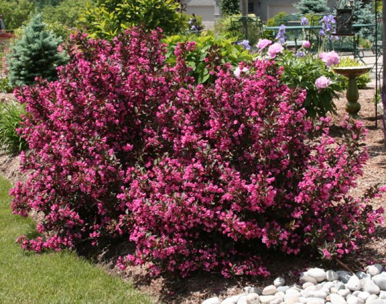 Krzewuszka nana purpurea for Arbustos de jardin nombres